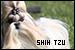 Dogs: Shih Tzu: